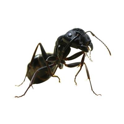 fourmis charpentiere